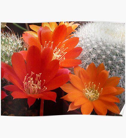 Rebutia Cacti Flowers Poster