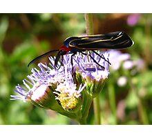 Moth ~ Veined Ctenucha  Photographic Print