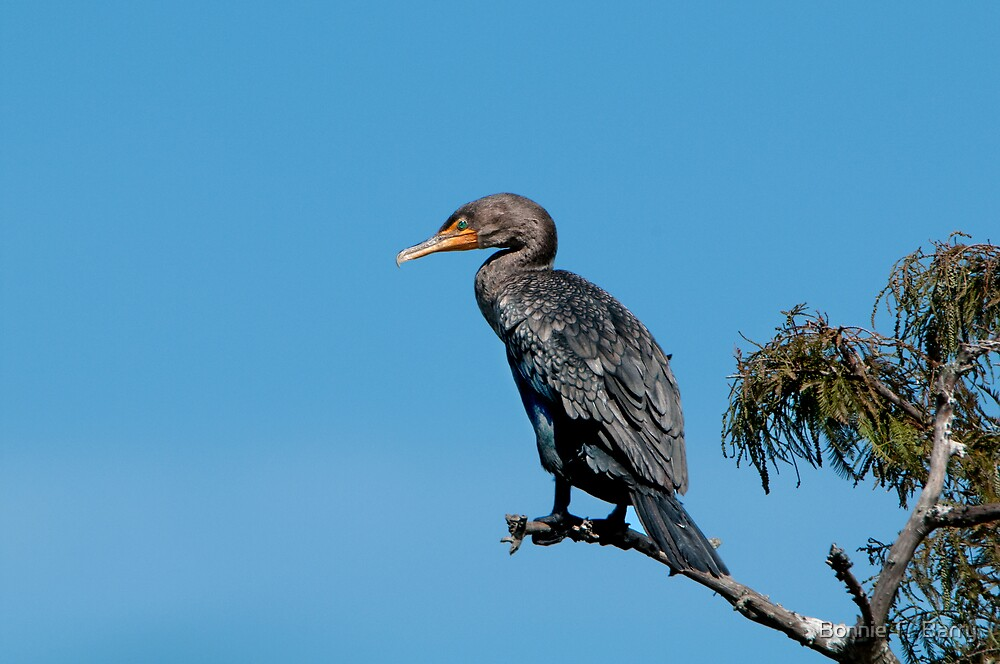 Cormorant on Cypress Branch by Bonnie T.  Barry