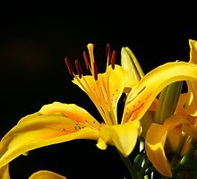 macro lily by Justine Devereux-Old