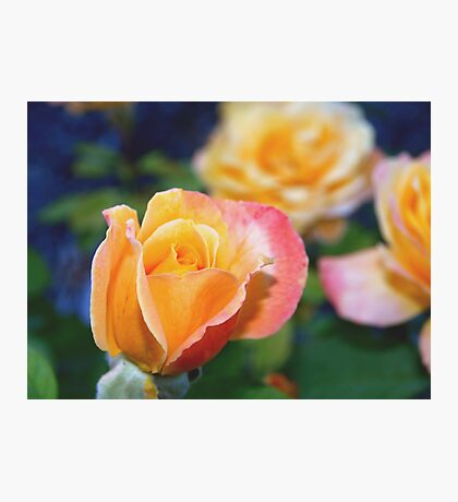 Yellow and pink-tinged roses Photographic Print