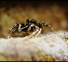 Jumping Spider with large fangs by Pagwag