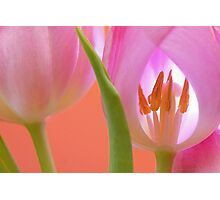 Tulips Macro Photographic Print