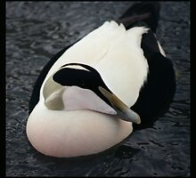An Eider duck photographed in Seahouses harbour, Northumbria. by Pagwag