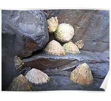 Limpets on rock Poster