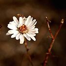 Cottonwood Blossom by lizjensen