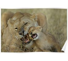 Lioness Bonding with Cub - Tanzania Poster