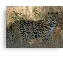 African Leopard - South Africa Canvas Print