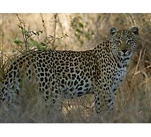 African Leopard - South Africa Photographic Print