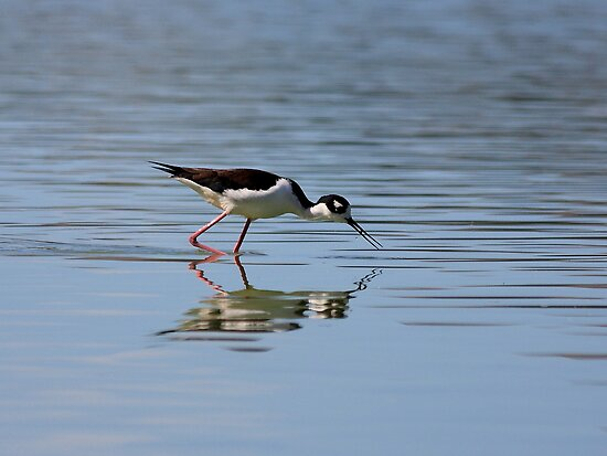 Reflections of a Black-necked Stilt by Wing Tong