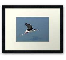 Black-necked Stilt in Flight Framed Print