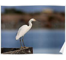 Snowy Egret Waiting Poster