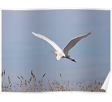 Great White Egret in Flight Poster