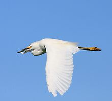 Snowy Egret in Flight by Wing Tong
