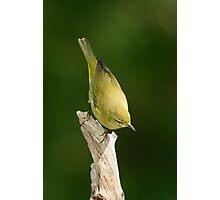 Warbler, Orange-crowned Photographic Print