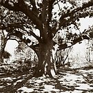 Faraway Tree by Karen E Camilleri