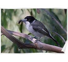 Grey Butcherbird with lunch Poster