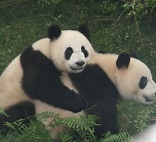Cute and Cuddly Pandas, China. by elphonline