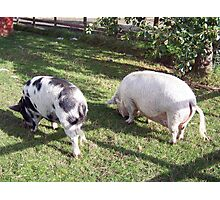 Two pigs grazing Photographic Print
