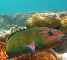 A female Moon Wrasse up very close by allanjonesgbr