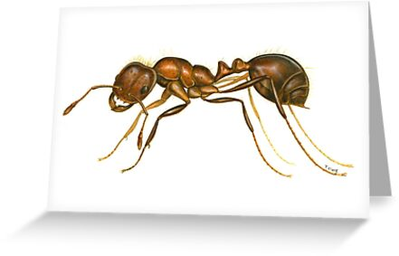 Red Imported Fire Ant (Solenopsis invicta) by Tamara Clark
