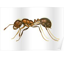 Red Imported Fire Ant (Solenopsis invicta) Poster