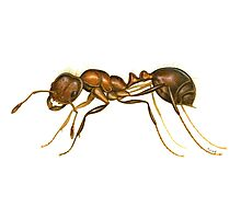 Red Imported Fire Ant (Solenopsis invicta) Photographic Print