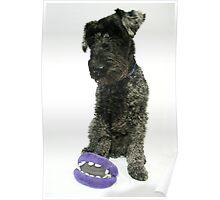 Kerry blue terrier Poster