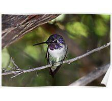 Hummingbird - Tucson Desert Museum Poster