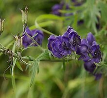 Purple Monkshood - Alaska Wild Flower by Alan Dickson