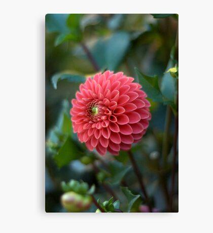Pink Dahlia - Butchart Gardens Canvas Print