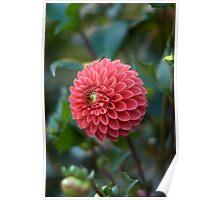 Pink Dahlia - Butchart Gardens Poster