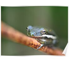 American Green Tree Frog Poster