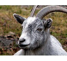 Pygmy Goat Too Photographic Print
