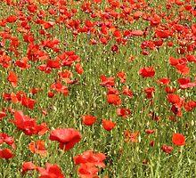 Tuscan Poppy Field. by prestongeorge