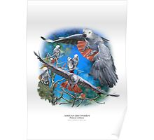 AFRICAN GREY PARROT POSTER 1 Poster