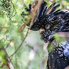Red-tailed Black Cockatoo by AlyssaSbisa