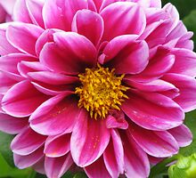 Pink and White Dahlia by swaby