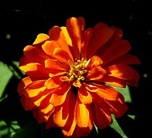 Orange Zennia by swaby