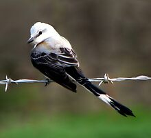 Bird On A Wire by NatureGreeting Cards ©ccwri