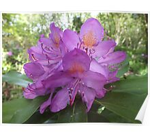 Riotous Lilac Rhododendron Poster