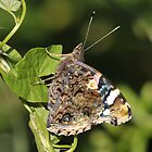 Red Admiral (Vanessa Atalanta) by Tony4562