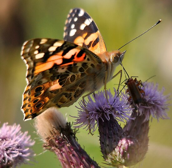 Painted Lady (Cynthia cardui) by Tony4562