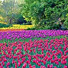 A Rainbow of Tulips by PhotosByHealy