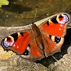 Peacock (Inachis io) by Tony4562