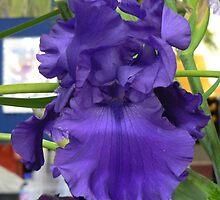 "Bearded Iris - ""Navy Blues"" by louisegreen"