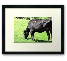 Black Cow Grazing Framed Print