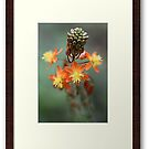 """Featured Photo ... """" Bulbine Frutescens """" by Through-The-Eye"""