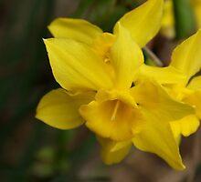 Daffodils  by Linda Yates