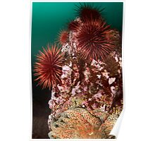 Urchin Colony Poster